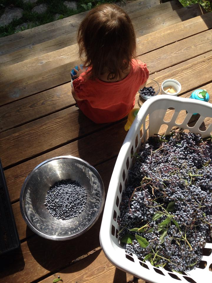 Harvesting elderberries